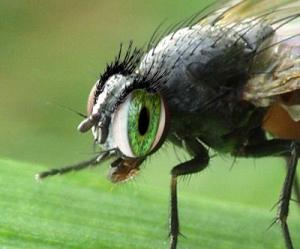 Å gjøre en flue fortred