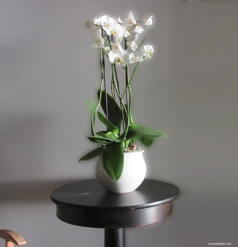 orkide_tommetanker