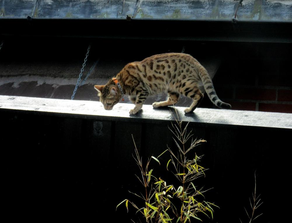 bengalsk katt_tommetanker