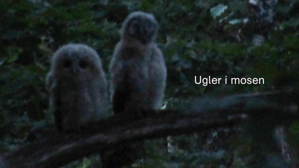 ugler_i_mosen1